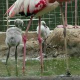 В зоопарке Москвы на свет появились пять птенцов фламинго