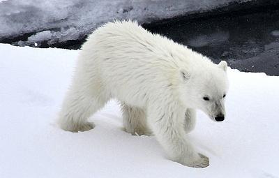 В Арктике обнаружили третьего за осень одинокого белого медвежонка